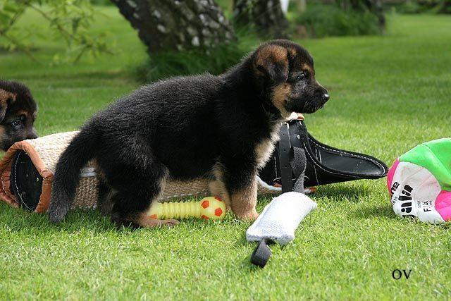 Собаку нужно социализировать ещё щенком