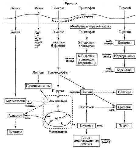 Пути обмена медиаторов и роль гематоэнцефалического барьера в обмене веществ (по: Шеперд, 1987)