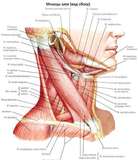 Грудино-ключично-сосцевидная мышца (m. sternocleidomastoideus)