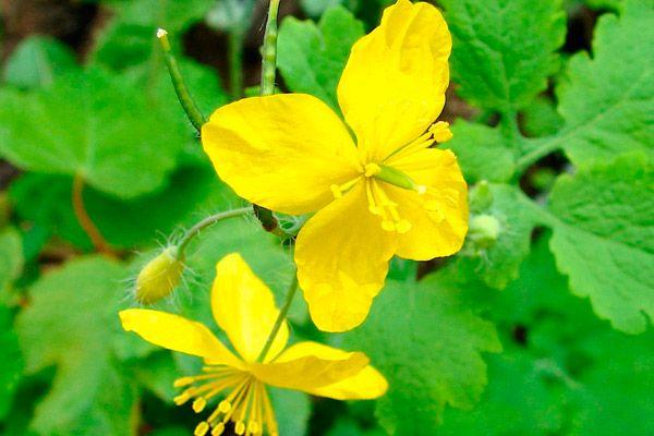 Лекарственные травы от псориаза список лечебных растений с фото