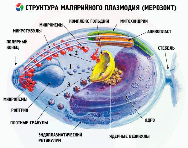 Что поражает малярийный плазмодий