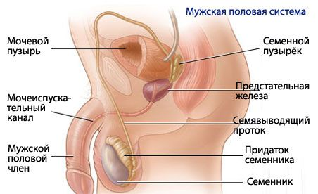 Анатомия и физиология мужской репродуктивной системы