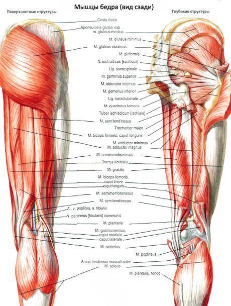 Мышцы таза (мышцы тазового пояса)