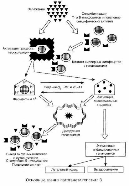Схема патогенеза гепатита В