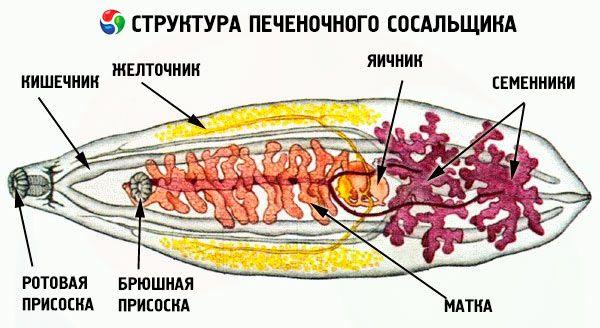 Печеночный сосальщик: место обитания и способ размножения, промежуточный и основной хозяин, как может заразиться человек, симптомы и признаки, поражаемые органы, печеночный сосальщик