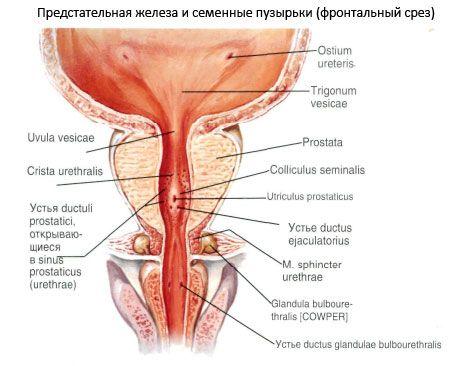 Бульбоуретральная железа