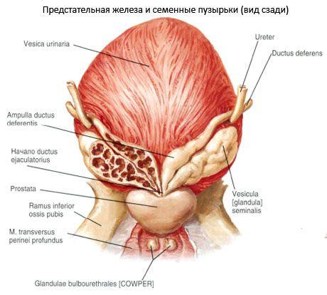 Простата (предстательная железа)