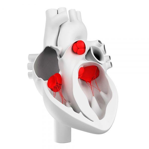 Сердечные клапаны и их морфологическое строение