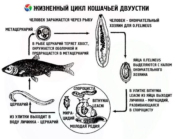 Сибирская двуустка