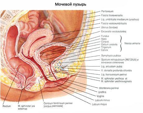 Женский мочеиспускательный канал, женская уретра
